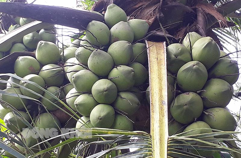 Phần lớn diện tích dừa trên địa bàn tỉnh đang vào mùa thu hoạch. Ảnh: Ng. Diễm