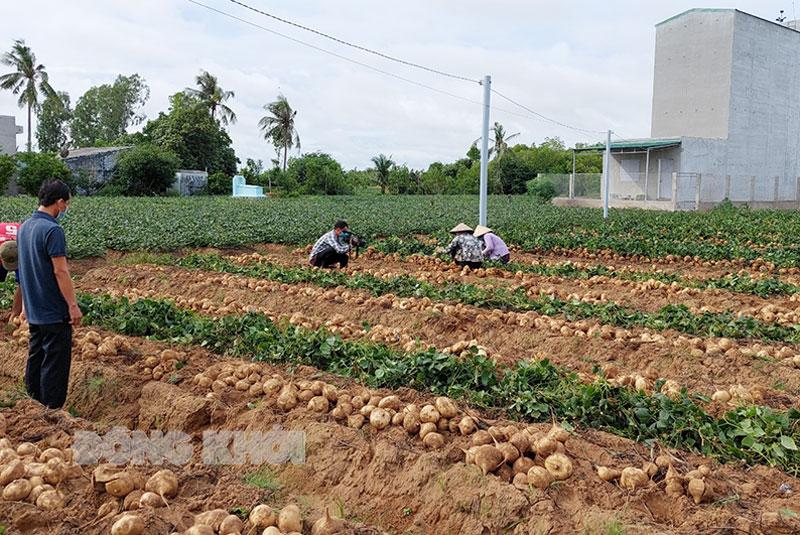Kết nối tiêu thụ sắn tại huyện Bình Đại. Ảnh: Thanh Nhứt