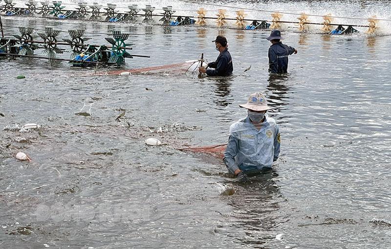 Nuôi tôm công nghệ cao tại huyện Thạnh Phú đang được nhân rộng. Ảnh: C.Trúc