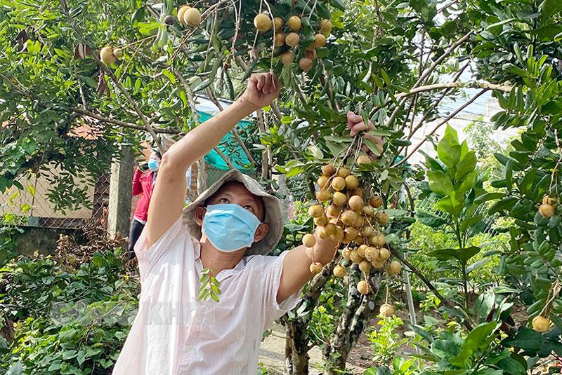 Hỗ trợ tiêu thụ nhãn cho nông dân huyện Châu Thành.