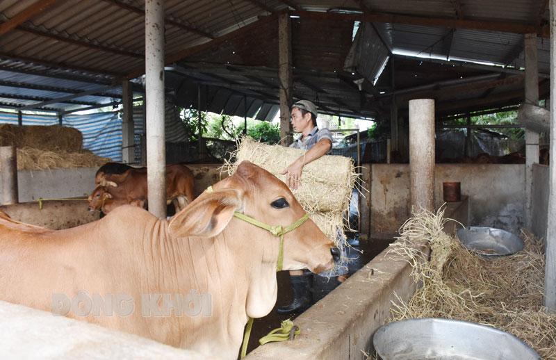 Tổ chức lực lượng tiêm phòng vắc xin bệnh viêm da nổi cục cho đàn bò, hỗ trợ công tiêm 4.800 đồng/liều.