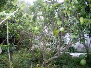 Biện pháp khắc phục vườn bưởi da xanh bị suy kiệt