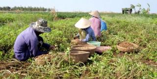 Xã Thừa Đức trúng mùa đậu phộng