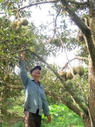 Tổ hợp tác sản xuất sầu riêng Sơn Định được chứng nhận VietGAP
