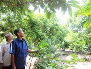 Hiệu quả kinh tế trên cây nhãn đạt chuẩn VietGAP
