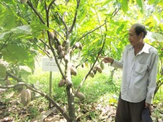 Định Thủy duy trì trồng ca cao xen trong vườn dừa