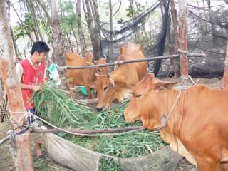 Phát triển đàn bò thịt chất lượng cao bằng phương pháp thụ tinh nhân tạo