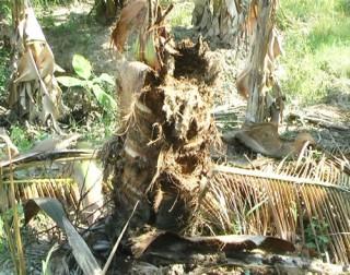Thiệt hại từ việc nuôi đuông dừa