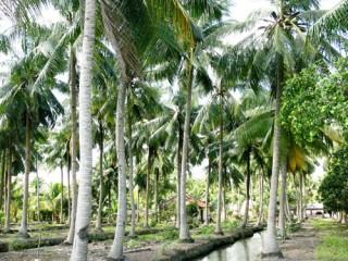 Dừa hữu cơ - hướng đi bền vững