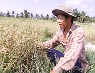 Hiệu quả mô hình sản xuất lúa chống chịu mặn