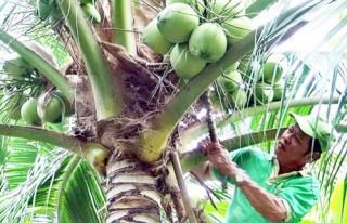 """Giá dừa uống nước tăng """"kỷ lục"""""""