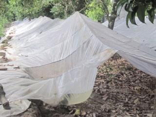 Nông dân Tân Thiềng gặp khó trong tìm  đầu ra cho trái sầu riêng