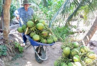 """Dừa xiêm xanh """"sốt"""" giá, tiềm ẩn thiếu dừa khô"""