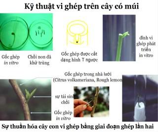 Kỹ thuật vi ghép trong sản xuất cây có múi sạch bệnh