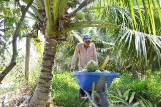 """Quản lý, khai thác thương hiệu """"Dừa uống nước xiêm xanh Bến Tre"""""""