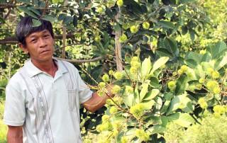 Làm giàu từ sản xuất cây giống chôm chôm mới