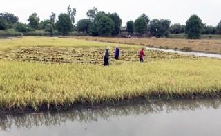 Mô hình lúa - tôm: Hướng đi bền vững cho nông dân xã An Nhơn
