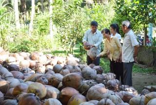 Hộ dân trồng dừa gặp khó vì giá thấp