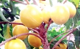 Nhiều cây giống mới ở huyện Chợ Lách bán được giá cao