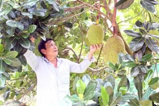 Chợ Lách giá mít Thái tăng kỷ lục