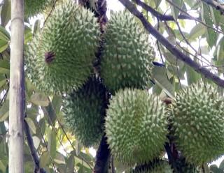 Mô hình trồng sầu riêng hiệu quả nhờ áp dụng khoa học kỹ thuật