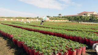 Xứ sở hoa kiểng Chợ Lách mùa giáp Tết