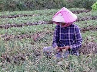 Nông dân trồng hành thu hoạch được mùa, giá bán cao