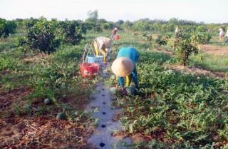 Thừa Đức thu hoạch dưa hấu lợi nhuận cao