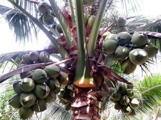 Chuyện Hai Bửu cho lai cây dừa dứa