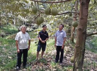 Tưới nước tự động cho vườn sầu riêng