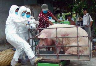 Bảo vệ trại heo trước bệnh dịch tả heo châu Phi