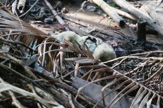 Người chăn nuôi vẫn lén vứt lợn bệnh chết ra sông