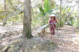 Châu Thành: Sầu riêng rụng lá, rụng trái do thiếu nước ngọt