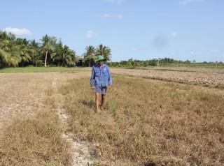 Ngành nông nghiệp bị thiệt hại nặng do hạn mặn