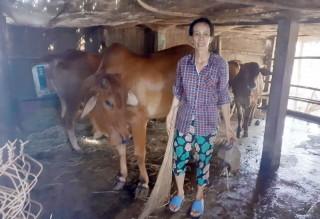 Thoát nghèo nhờ chăn nuôi bò sinh sản