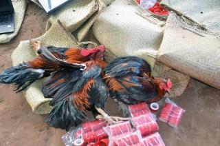 Công an xã Sơn Phú triệt xóa tụ điểm đá gà