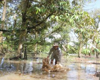 Sạt lở đê bao, vườn cây ăn trái chìm trong nước
