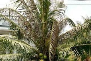 Triển khai biện pháp quản lý tạm thời sâu đầu đen hại dừa