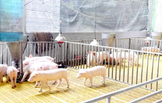 Phát hiện bệnh lở mồm long móng trên đàn bò ở Thạnh Phú