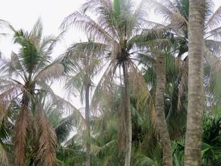 Sâu đầu đen hại dừa ở Thành Thới B