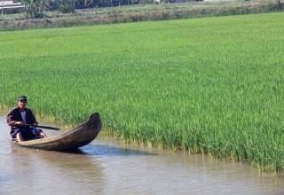 Nuôi tôm càng xanh toàn đực xen trong ruộng lúa
