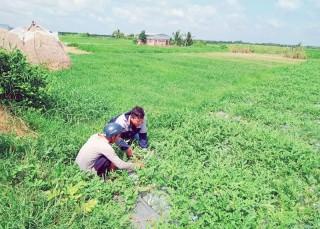 Nông dân Ba Tri trồng rau màu hiệu quả cao