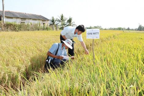 Khuyến cáo nông dân không sản xuất lúa vụ Đông Xuân 2020-2021