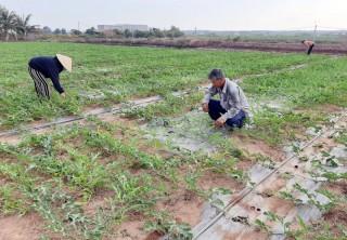 Nông dân Thạnh Phú chăm sóc cây trồng sau Tết