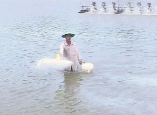 Bình Đại vào vụ nuôi tôm biển năm 2021