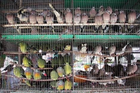 Về quy định các hộ kinh doanh chim cảnh di dời ra ngoại ô