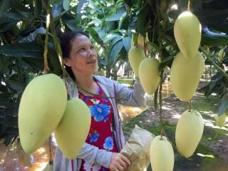 Hiệu quả kinh tế từ mô hình trồng xoài