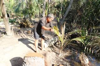 Sâu đầu đen phá hại dừa đang lan nhanh