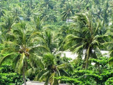 Mỏ Cày Bắc triển khai hỗ trợ người trồng dừa