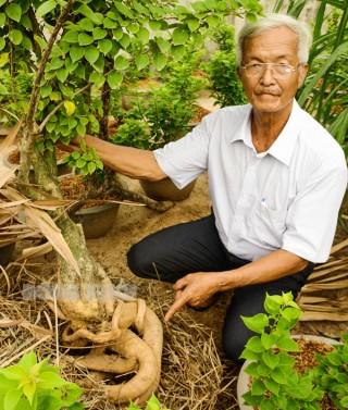 Trồng bông giấy lấy rễ bán giá cao